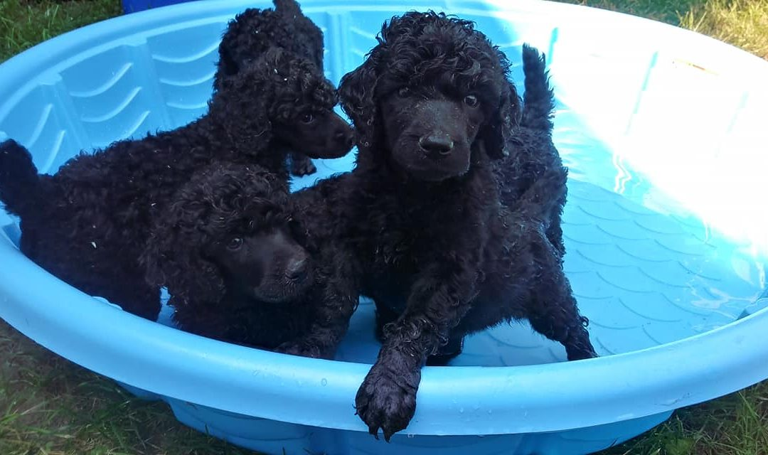 Romeo pups available at Meeker's Ridge Standard Poodles